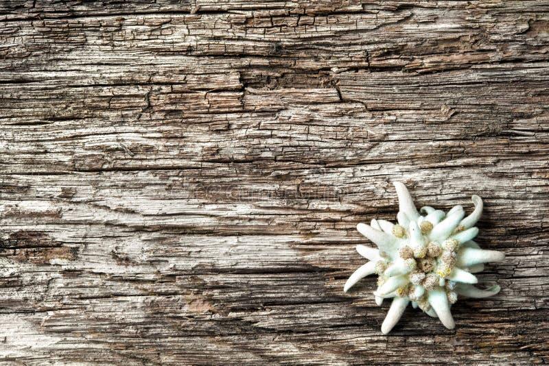 Edelweiss στο ξύλινο υπόβαθρο στοκ εικόνες