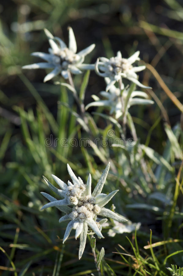 Download Edelweiss Royalty Free Stock Photography - Image: 13403007
