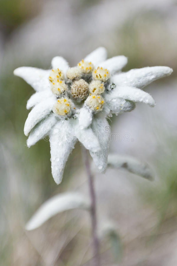 Edelweiss stock afbeelding