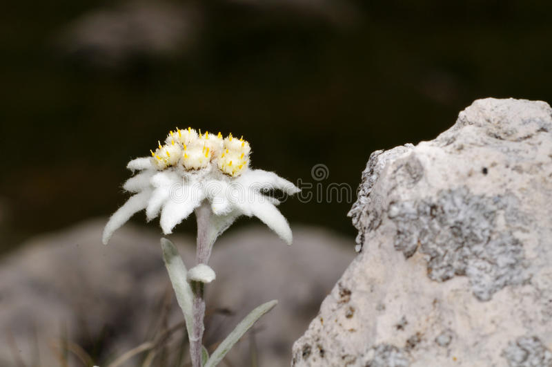 Edelweiss fotografia de stock