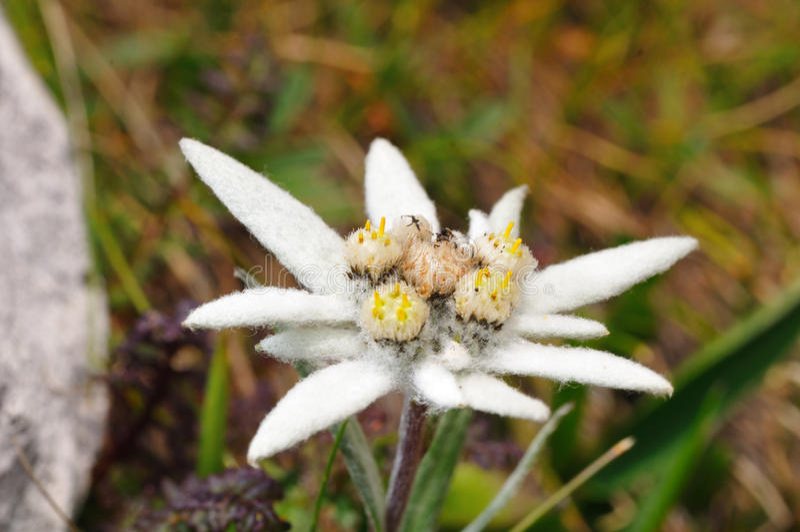 edelweiss arkivfoton