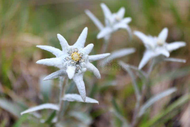 Edelweiss royalty-vrije stock fotografie