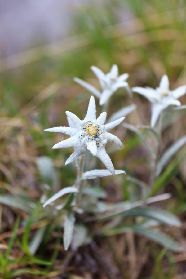 edelweiss στοκ εικόνα με δικαίωμα ελεύθερης χρήσης