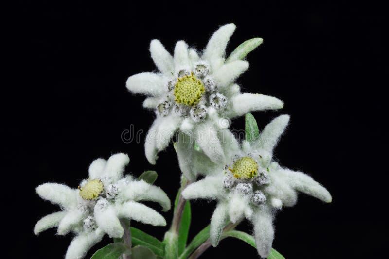 Edelweiss stock fotografie