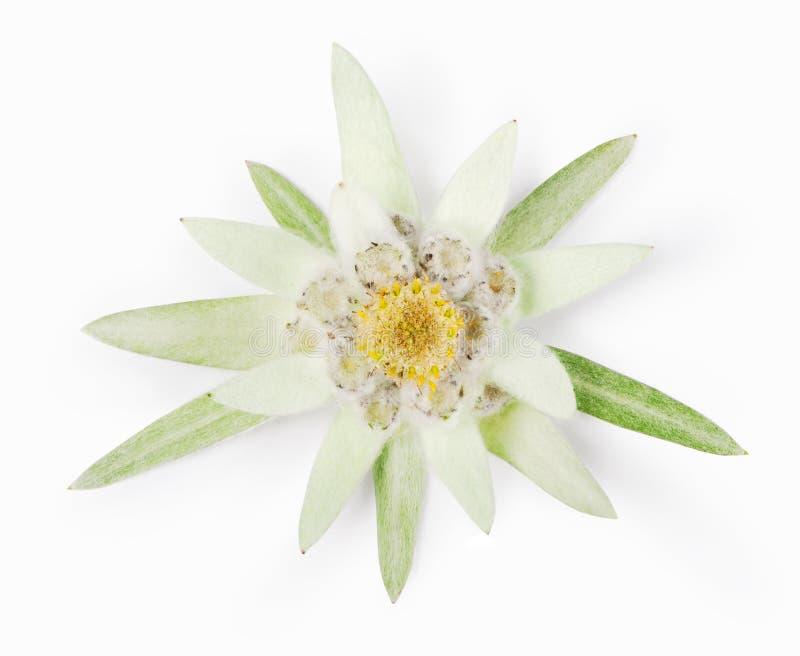 edelweiss stock foto