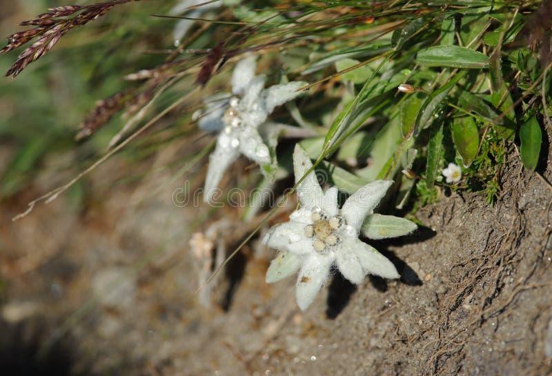edelweiss στοκ φωτογραφίες