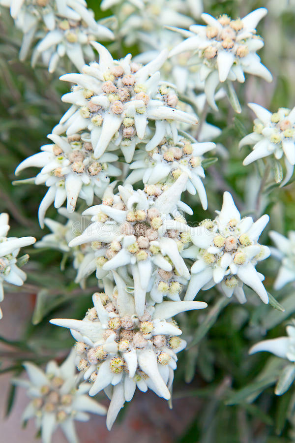 edelweiss royalty-vrije stock foto's