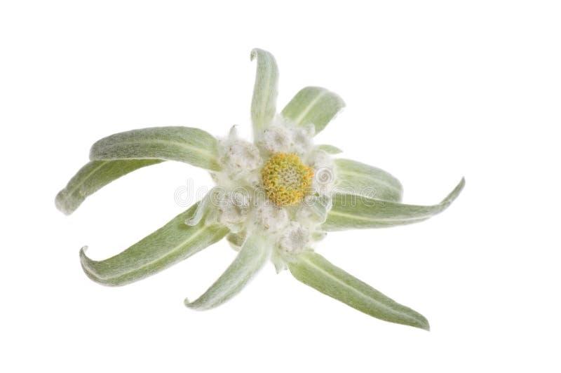 Edelweiss imagem de stock