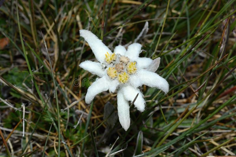 edelweiss 库存图片