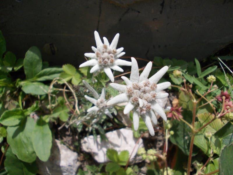 edelweiss photo libre de droits