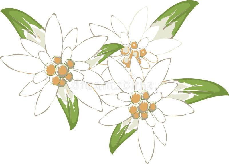 Edelweiss. ilustração do vetor
