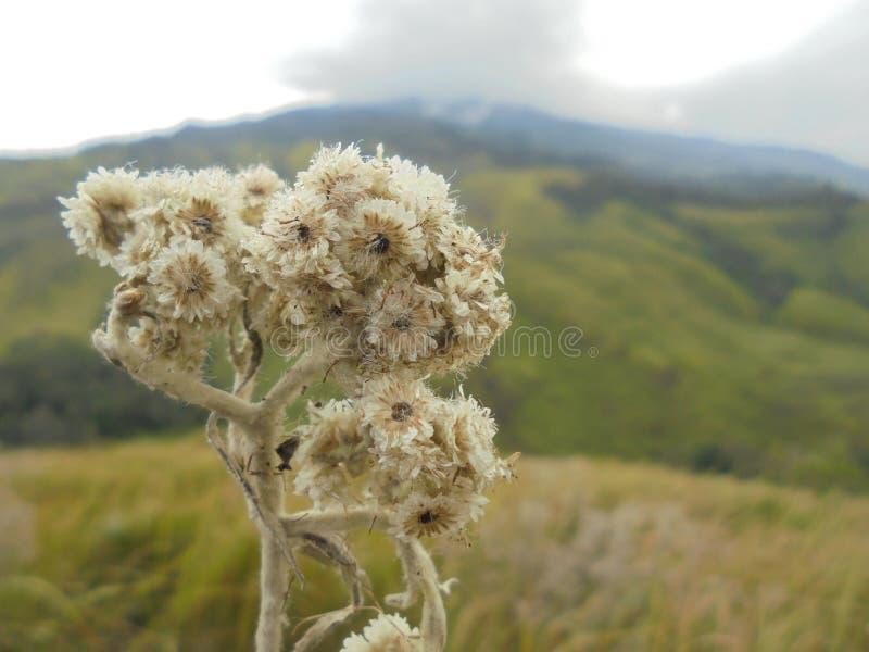 edelweiss fotografie stock
