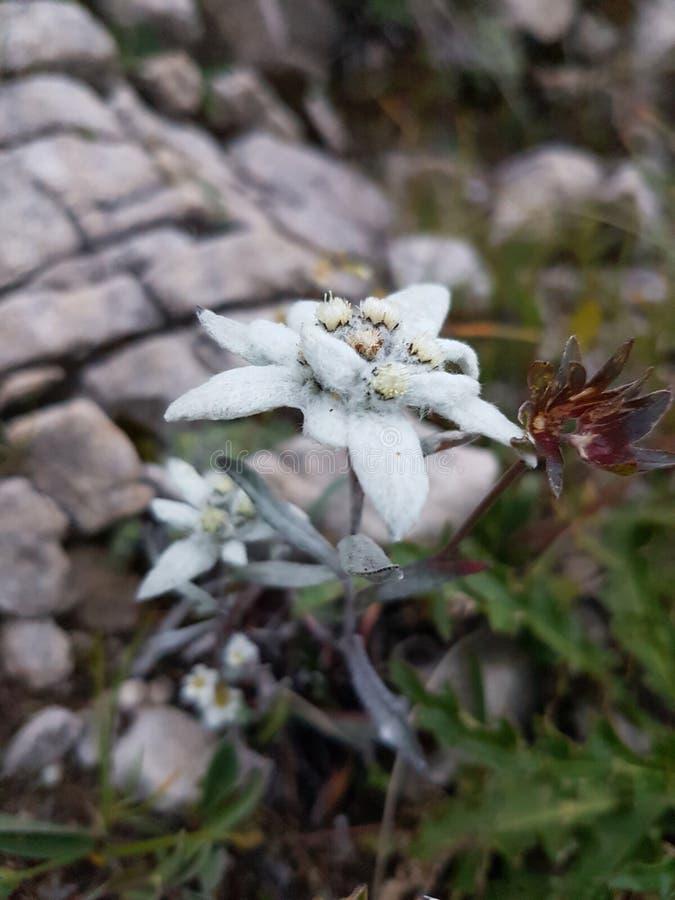 edelweiss royaltyfri bild