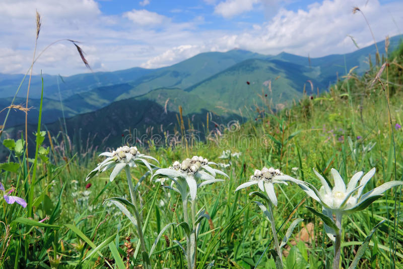edelweiss stock afbeeldingen