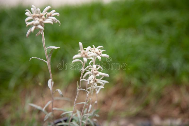Edelweiss the Alpine mountain rare flower white star royalty free stock photos