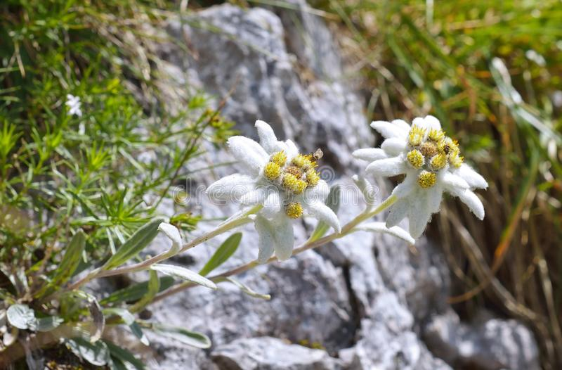 Edelweiss (alpinum Leontopodium) royalty-vrije stock afbeelding