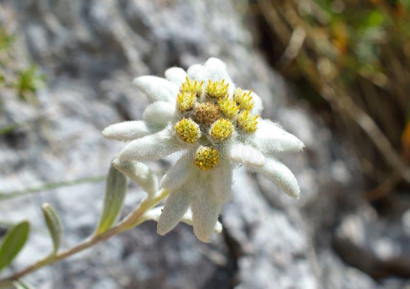 Edelweiss (alpinum Leontopodium) royalty-vrije stock fotografie