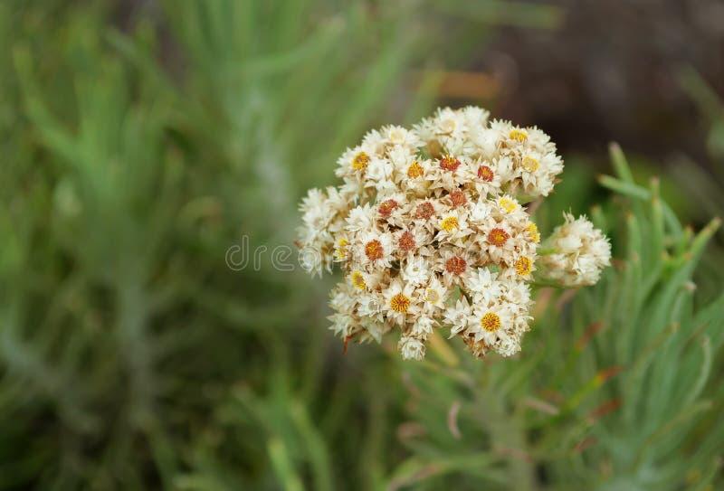 Edelweiss blomma arkivfoton