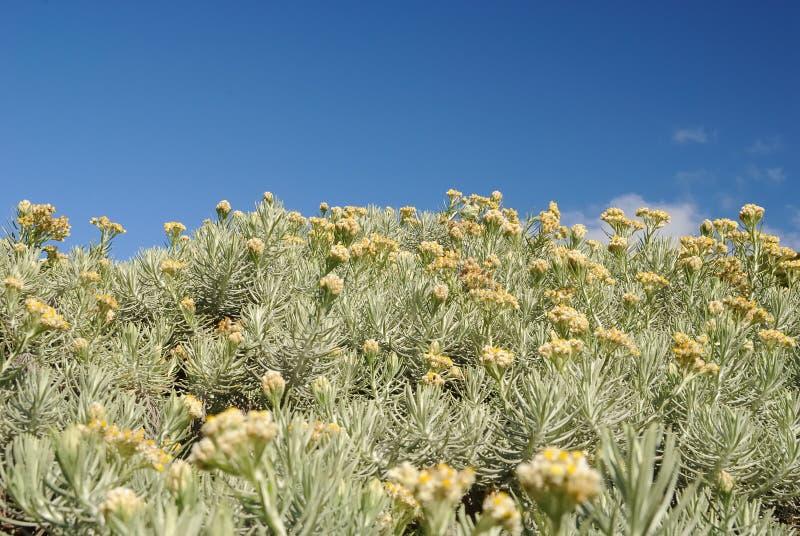 Edelweiss blomma fotografering för bildbyråer