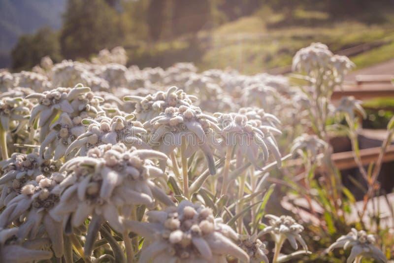 Edelweiss in de hoogte royalty-vrije stock afbeelding