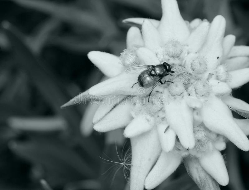 Edelweiss en insect royalty-vrije stock afbeelding
