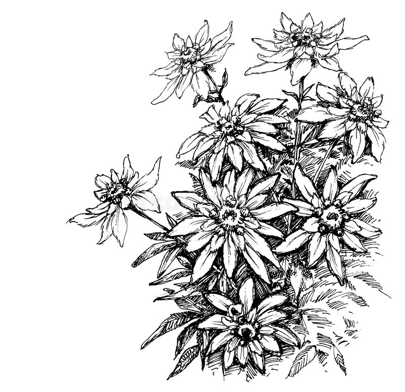 Edelweiss etching. Rare flowers foliage royalty free illustration