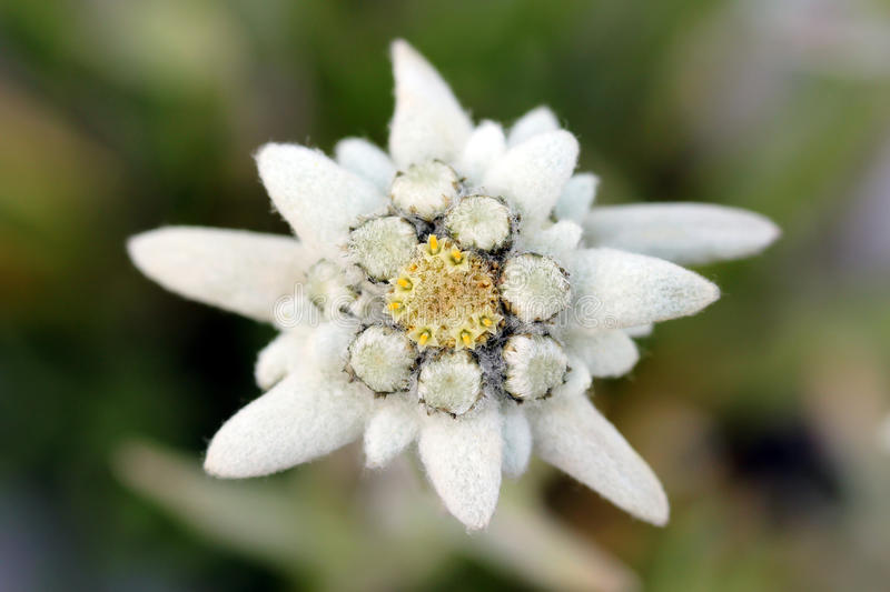 Edelweiss flower. Edelweiss (Leontopodium alpinum) is one of the best-known rare flowers. The plant belongs to the same family like the common sunflower and