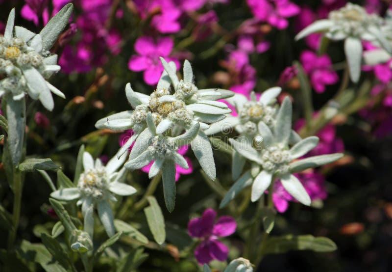 Edelweiss flower stock photo