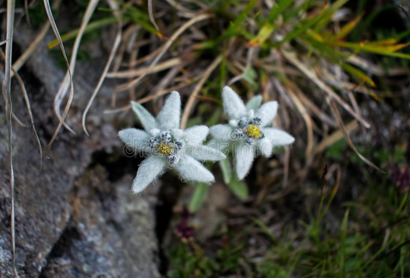 Edelweiss, flower of the corner, a beautiful flower that grows on the mountain ridges at high altitude. A rare and beautiful stock photo