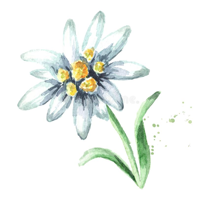 Edelweiss flower Leontopodium alpinum with leaves, Watercolor hand drawn illustration, isolated on white background.  stock photo