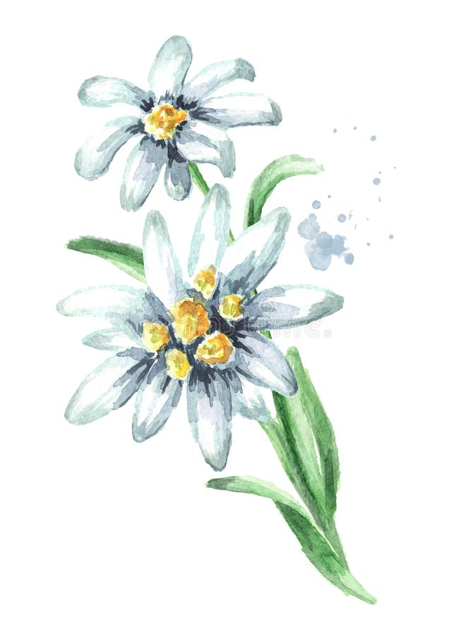 Edelweiss flower Leontopodium alpinum with leaves Watercolor hand drawn illustration, isolated on white background.  stock images