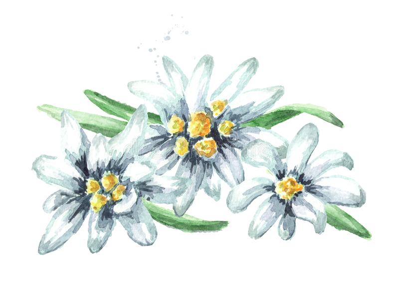 Edelweiss flowers Leontopodium alpinum, Watercolor hand drawn illustration isolated on white background.  royalty free stock photography