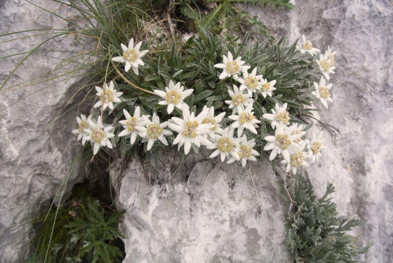 Edelweiss het groeien op alpinum van rotsleontopodium stock afbeeldingen