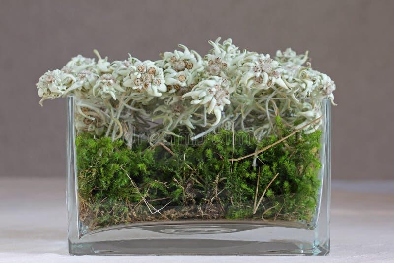 Edelweiss (Leontopodium-alpinum) stock afbeeldingen