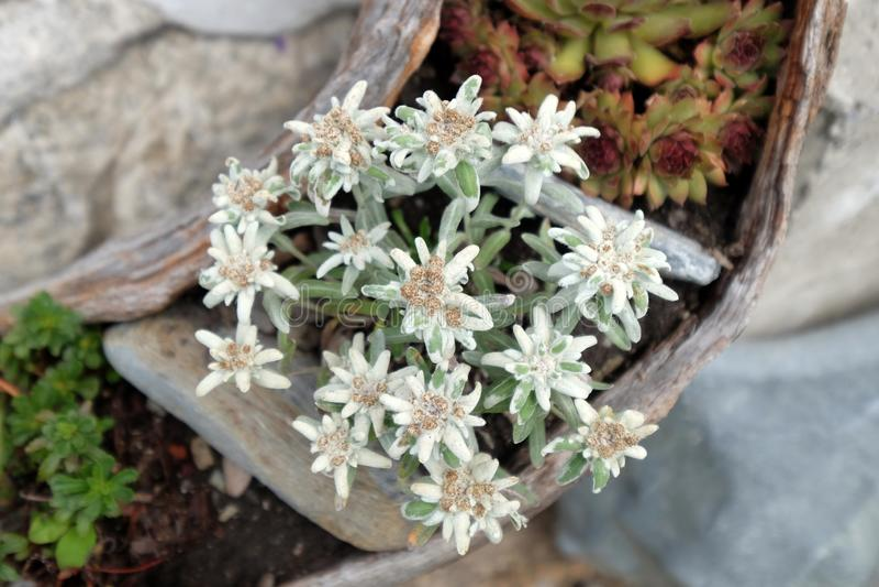 Edelweiss, Leontopodium alpinum royalty free stock photo