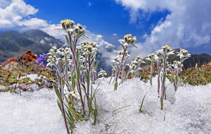 Edelweiss Snow Concept Rare Flowers royalty free stock images