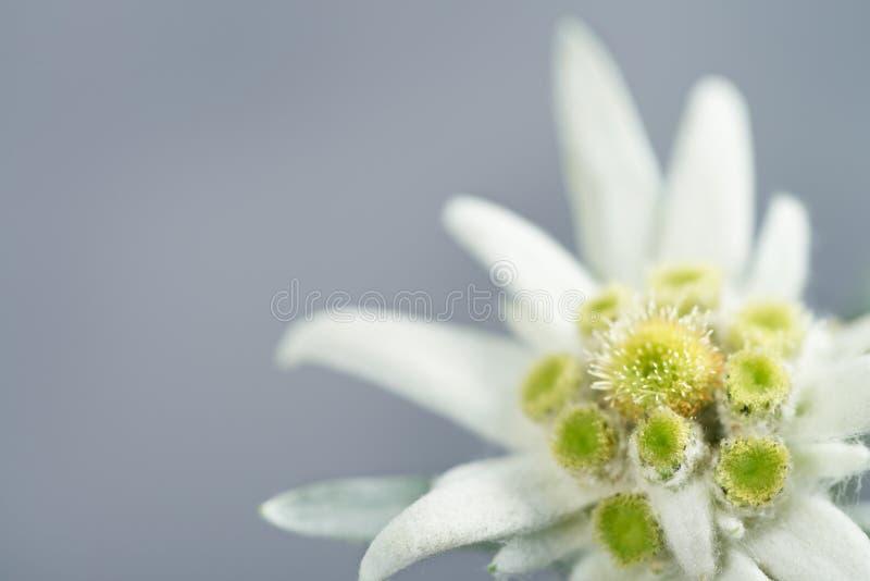 Edelweiss på grå bakgrund arkivbilder