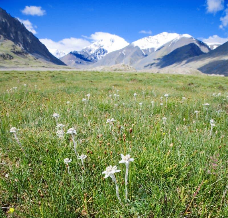 edelweiss som växer lawn som arkivbild