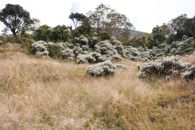Edelweiss su una collina browny fotografia stock libera da diritti