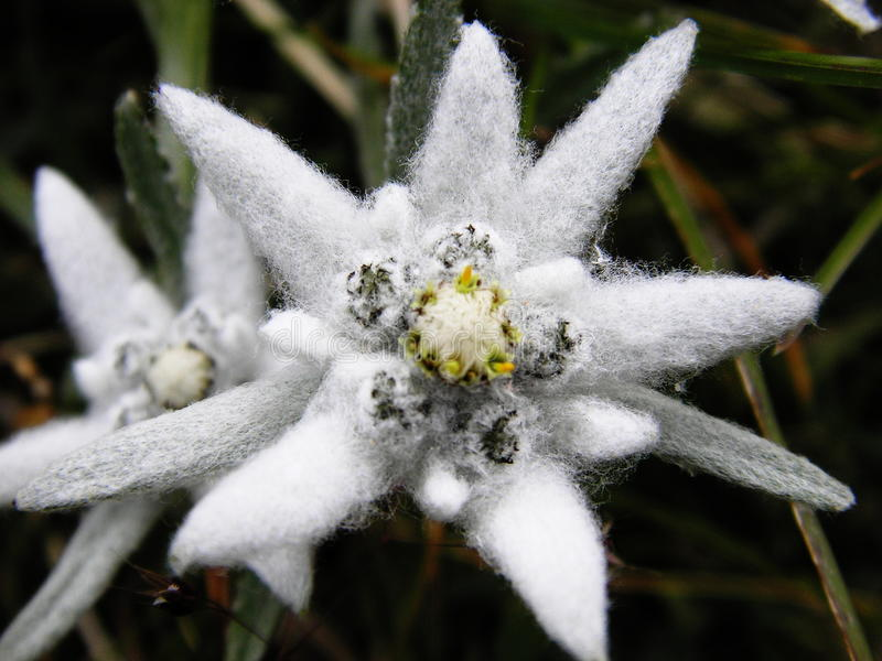 Edelweiss royalty free stock image