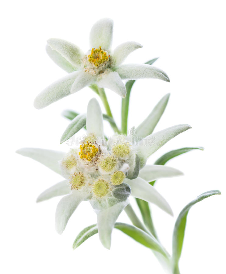 Edelweiss. Two Edelweiss flowers (Leontopodium alpinum) isolated over white
