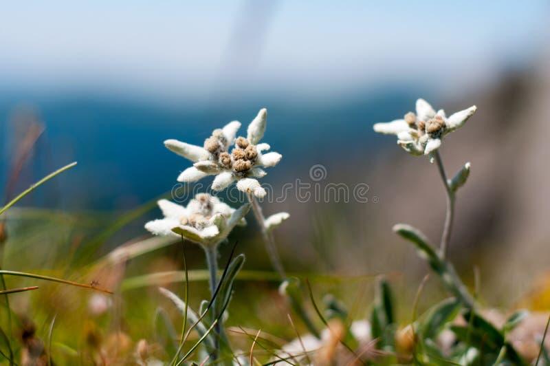 Edelweissbloemen in Ciucas-Bergen, de Roemeense Karpaten stock foto's