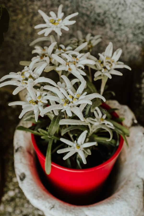 Edelweissbloemen in een rode pot royalty-vrije stock afbeelding