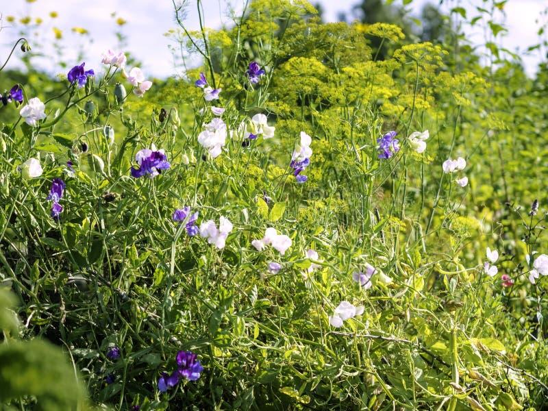 Edelwicken Lathyrus odoratus, das in einem Garten mit Dill Anethum graveolens wächst lizenzfreies stockbild