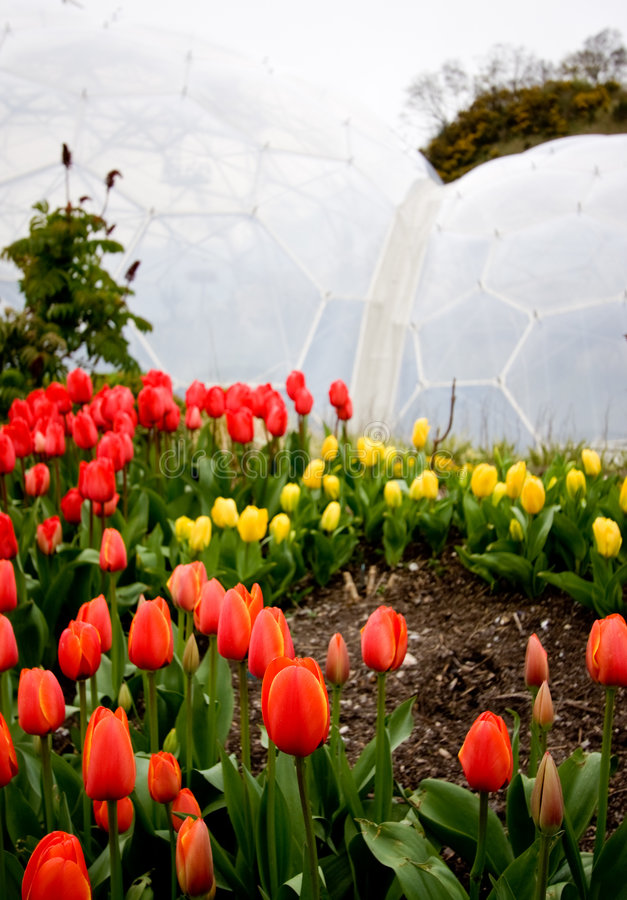 Eden Project Tulips stock images