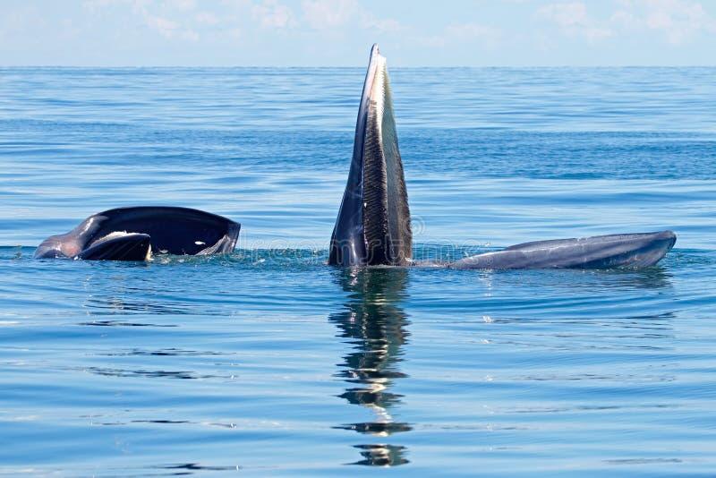 Edeni del Balaenoptera de la ballena de Bryde dos pescados grandes en el mar imágenes de archivo libres de regalías