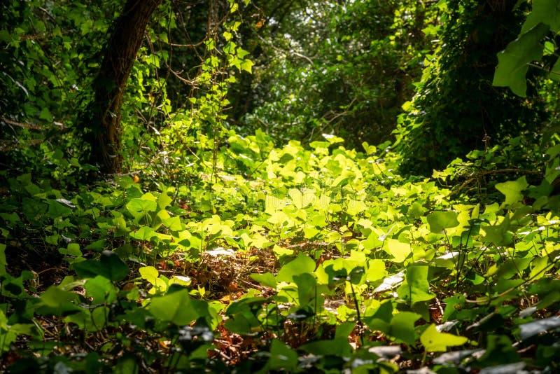 Edera che cresce in un piccolo schiarimento in una foresta del parco di Londra fotografia stock libera da diritti