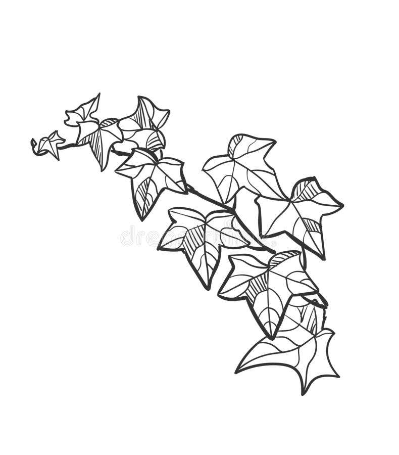 Edera della pianta degli elementi di progettazione dell'illustrazione di schizzo di vettore illustrazione vettoriale