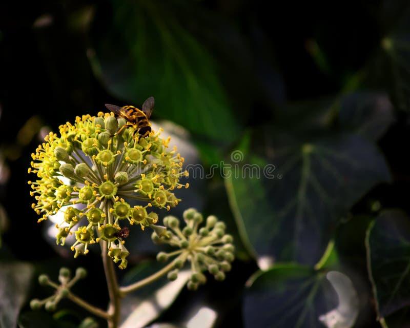 Edera di fioritura - un fenomeno raro, là è spazio libero fotografia stock libera da diritti