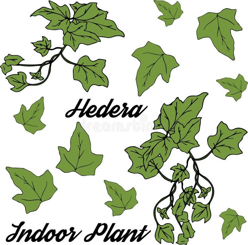 Edera di Heder, pianta da appartamento Del hedera helix Può essere usato come elemento della decorazione per le disposizioni flor illustrazione di stock